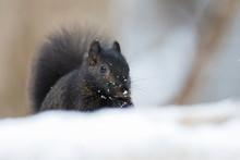 Black Squirrel In Winter