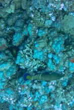 Peacock Grouper Swimming Aroun...