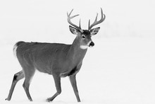 Deer Portrait, White-tailed De...