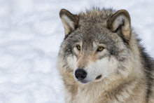Wolf Portrait. Northwestern Wolf (Canis Lupus Occidentalis), Also Known As The Mackenzie Valley Wolf, Rocky Mountain Wolf, Alaskan Timber Wolf Or Canadian Timber Wolf