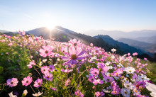 Colorful Cosmos Flowers That R...