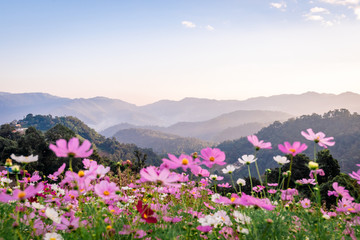 Fototapeta Góry Colorful cosmos flowers that rise in the heart of the valley, a popular tourist attraction in Chiang Mai.Mon Jam