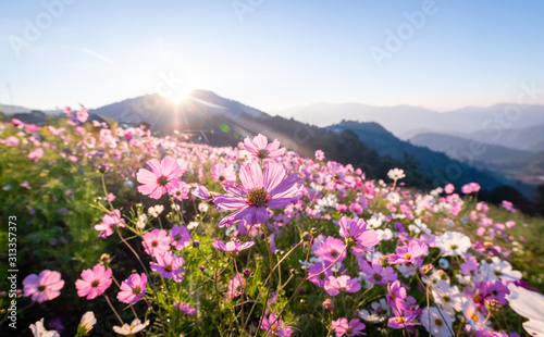 Colorful cosmos flowers that rise in the heart of the valley, a popular tourist attraction in Chiang Mai Wallpaper Mural