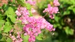 Pink flowers and bees pollinating in the natural background