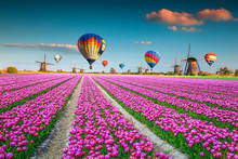 Pink Tulip Fields With Windmil...