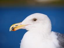 Seagull At Lake Merced