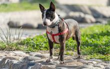 English Bull Terrier. Thoroughbred Dog. Canine Friend.