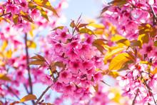 Wild Himalayan Cherry Flower (Prunus Cerasoides), Closeup Of Wild Himalayan Cherry (Prunus Cerasoides) At Chiang Mai, Thailand