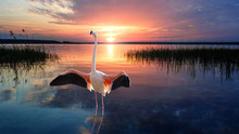 Tropical Bird Flamingo Standing Straight Up In Calm Water Of Lake At The Sunset. Wildlife.