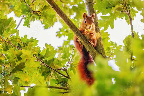 Fotomural Red Squirrel (Sciurus vulgaris) Collecting Acorns