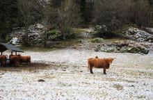 Norweian Cow In Winter