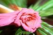 canvas print picture - El Gran big bang de una rosa