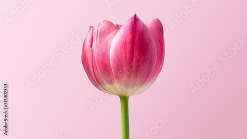 Fototapeta  pink tulip on white background
