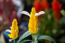 Lollipop Plant Or Golden Shrim...