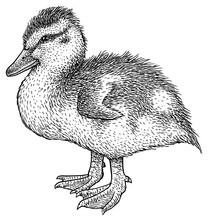 Duckling Illustration, Drawing, Engraving, Ink, Line Art, Vector