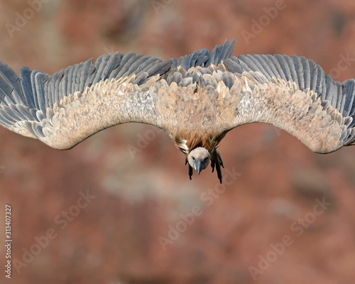 Griffon Vulture - Gyps fulvus, Crete Wallpaper Mural