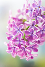 Blooming Lilac Flowers. Macro ...