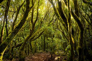 Camino de los sentidos. Exuberante bosque de laureles en el Parque Nacional de Garajonay, La Gomera. Islas Canarias