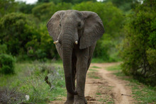 A Young Elephant Bull Walking ...