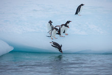 Gentoo Penguins Waddling Down An Iceberg And Diving Into The Antarctic Water