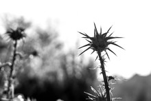 Flower Of Silybum Marianum, In...