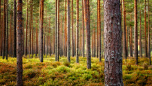 Beautiful Latvian Forest Landscape In Autumn Colors.  Amazing Sea Side Pine Tree Forests With Fresh And Soft Moss Ground.