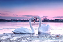 The Romantic White Swan Couple Swimming In The River In Beautiful Sunset Colors. Swans Symbolize The Pure Love And Greatness Of Beings.