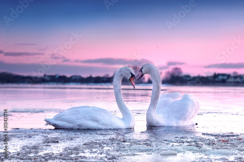 Fotografía The romantic white swan couple swimming in the river in beautiful sunset colors