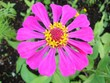 canvas print picture - purple flower in the garden