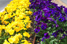 Flowerbed With Yellow And Purp...