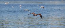 Seagull In Flight Over The Adriatic Sea, Cloudless Sky Bright Blue Sea.
