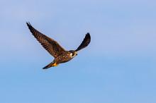 Peregrine Falcon (Falco Peregr...