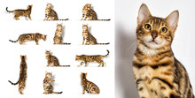 Bengal Kitten Looks Up On A White Background