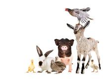 Funny Farm Animals Isolated On White Background