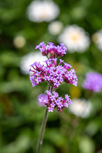 A Verbena Flower In The Summer...