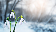 Snowdrops In Forest Among Snow On Blurred Background_