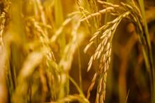 Close-up Beautiful Golden Rice...