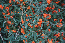 Sea Buckthorn, It's Known As S...