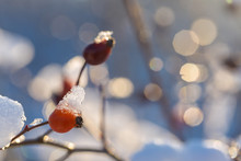 Christmas Tree Branch With Snow, Winter Fairy Tale, Wild Rose In The Snow