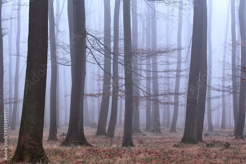 Misty afternoon in the winter forest, no snow, only the ground full of leaves