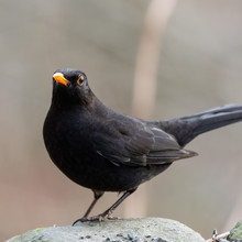 Male Blackbird Standing On A R...
