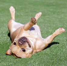 French Bulldog Rolling Over And Goofing Off. Backyard In Northern California.