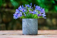 Agapanthus Praecox, Blue Lily ...