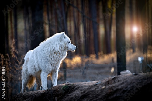 Canvastavla The Arctic wolf (Canis lupus arctos), also known as the white wolf or polar wolf