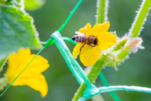 Honey Bee On Yellow Flower Of Young Plant Cucumber