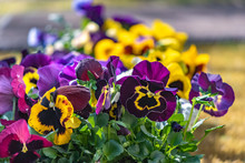 Closeup Of Colorful Pansies (V...