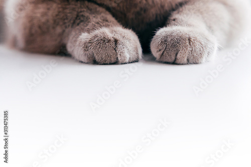 Obraz Gray fluffy cat paws on white background. - fototapety do salonu