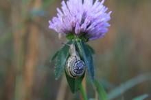 A Small Snail Crawls On A Lush Fragrant Flower On A Plant Stem