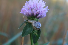 A Small Snail Creeps On A Flower On A Plant Stem