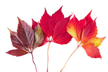 Red Autumn Leaves Of Parthenoc...